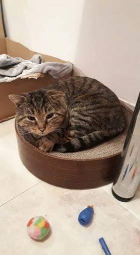 Mistigri est un chat attachant et très gentil. Pour son bonheur, il aura besoin d'un accès extérieur. Il est également adorable avec ses congénères.  Mistigri aime bien discuter avec vous également. Mistigri patiente en attendant de rejoindre votre foyer. Contactez nous!