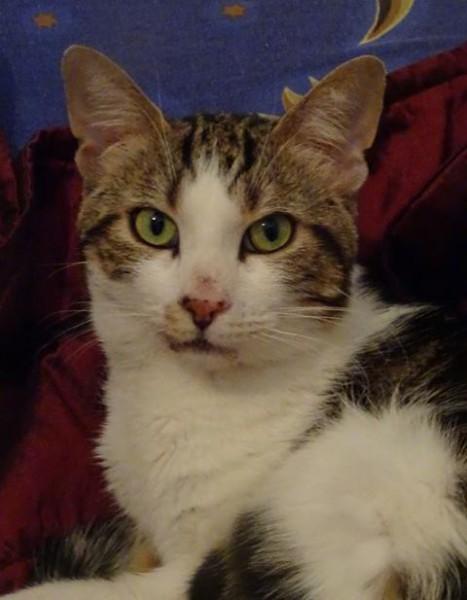 Bobby est âgé d'environ 1 an. Ce chat est extrêmement câlin, tout en tendresse, et sera pleinement épanoui au sein de votre foyer. Y compris avec des enfants. Il raffole des câlins, et vient doucement se frotter à vous pour obtenir quelques caresses. Facile à vivre, à l'aise et calme, il sera heureux en appartement.