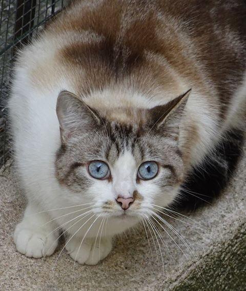 Darius est un beau croisé siamois,  âgé d'environ 4 ans. Câlin, gentil, affectueux, chat de famille.
