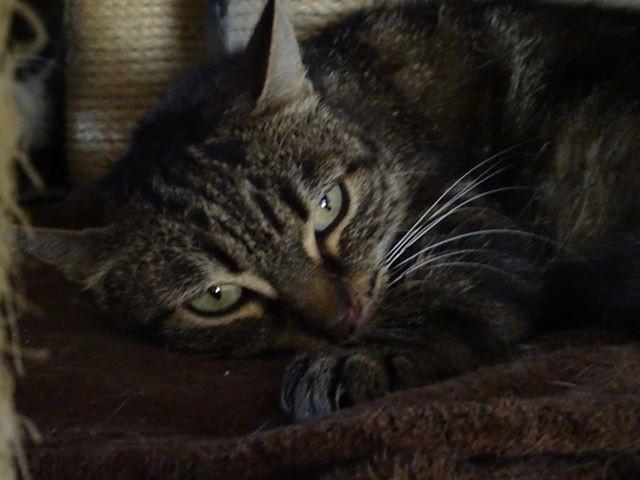 Garfield a été adoptée quand elle avait 2 mois. Chaton aimé, devenue une adulte délaissée, puis abandonnée à la fourrière. Aujourd'hui, elle a 7/8 ans. Elle espère trouver son foyer. Et nous espérons que son moral remontera. Elle a urgemment besoin d'être adoptée. Très câline, elle ronronne de suite, et elle est d'une extrême douceur et gentillesse.
