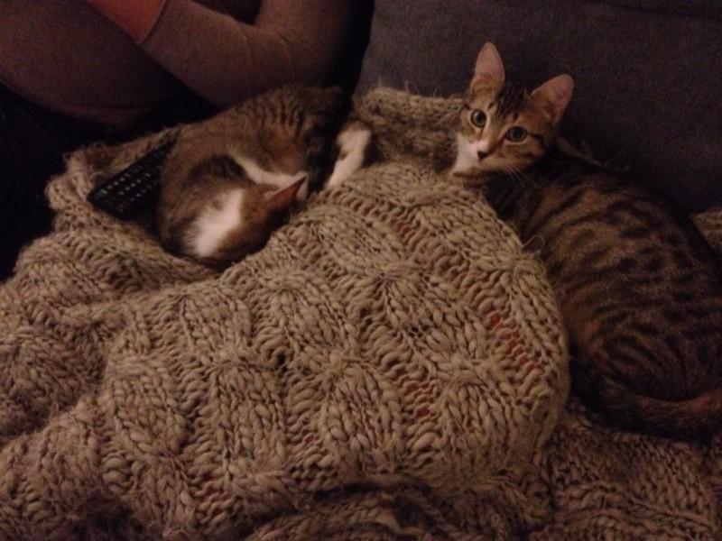 Tiger et Chaussette sont frères. Trouvés seuls dehors, livrés à eux mêmes, ils sont à présent adoptés et heureux! Complices, ils sont coquins et très câlins. Ils ne seront jamais séparés, et ont rejoint une grande famille!