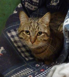 Luc est un gentil chat adulte, à l'aise et sociable. Il appréciera vos câlins ainsi que votre présence. Chat d'appartement, et de famille, Luc vous attend à l'adoption sur Paris!