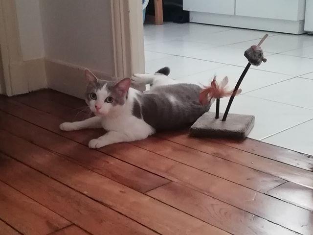 Marvel adore parler! C'est un chat coquin et espiègle, qui adore s'amuser avec un rien. Tout heureux, c'est le spécialiste des roulades sur le dos. Pétri de qualités, un foyer sans chat sera néanmoins  indispensable.