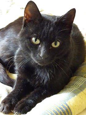 Jeune adulte, Maestro est un chat adorable, pétri de douceur et de gentillesse. Discret et câlin, son regard tout doux fait craquer les bénévoles.