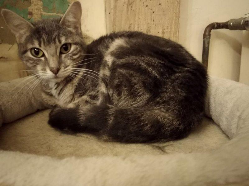 Mulan est une jeune demoiselle, très douce, et qui s'entend très bien avec les autres chats et les humains. Curieuse et câline, elle aimerait bien rejoindre bientôt votre foyer! Contactez nous.