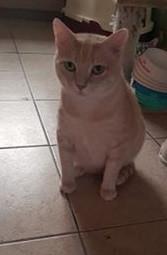 Une grande première pour Pythagore...il se présente à vous pour trouver son foyer parisien! Ce beau matou est un chat paisible et calme. Une force tranquille dont la présence est très agréable. Pythagore est facile à vivre et peut parfaitement rester sage quand il est seul. Vous le remarquerez peut-être sur les photos, monsieur a quelques jolies rondeurs. Il a manqué de nourriture par le passé et il ne faudra pas chercher à le mettre au régime. Adopter Pythagore c'est également adopter ses rondeurs! Vous souhaitez faire un sauvetage? Alors pourquoi ne pas donner sa chance à ce gentil chat? Il vous attend pour partager votre quotidien et vous tenir compagnie pendant de longues et belles années...
