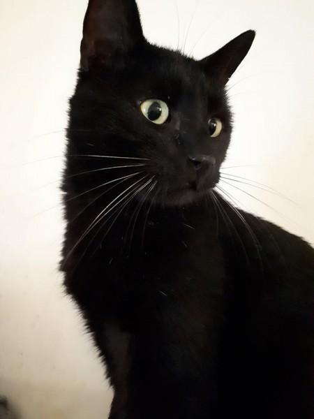 Rabby est un adulte de 4/5 ans. Panthère noire aux pattes de velours, il adore les câlins! Il ronronne alors de bonheur, si vous avez un peu de temps à lui consacrer.