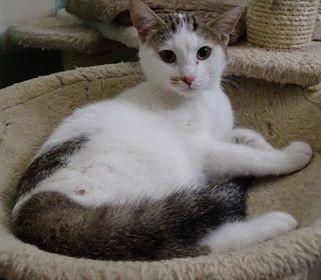 Scotchou est âgé d'environ 6/7 mois. Il aime bien parler, faire des câlins et participera avec entrain à votre vie de famille. Jeune chat dynamique et plein de vie, laissez vous séduire.