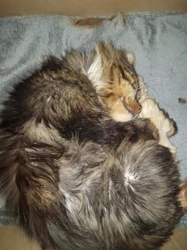 Sparrow est arrivé en bien piteux état à l'association. Après de nombreux soins, il récupère peu à peu. Toujours sous traitement, nous espérons pour lui qu'il trouvera des parrains et marraines afin de nous aider à veiller sur lui. Il souffre notamment d'une incontinence. C'est un chat très doux et très gentil.