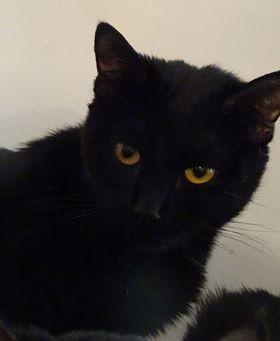 Yann est un jeune adulte, sauvé de maltraitance avec un copain chat. De nature dynamique, Yann est également très joueur. C'est un très beau chat, félin et élancé. Yann attend avec impatience sa famille d'adoption pour la vie.