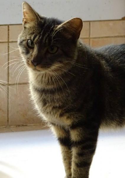 Alphonse est un amour de chat. Ce jeune adulte âgé d'un/deux ans, est très sociable, à l'aise de suite et adore les câlins! Chat d'appartement et de famille, il s'entend également très bien avec les autres chats.
