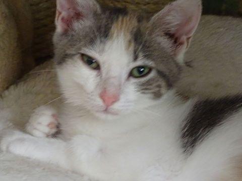 April est une jeune chatonne curieuse et joueuse. Elle s'entend très bien avec les autres chats. Elle vous attend à l'adoption sur Paris.