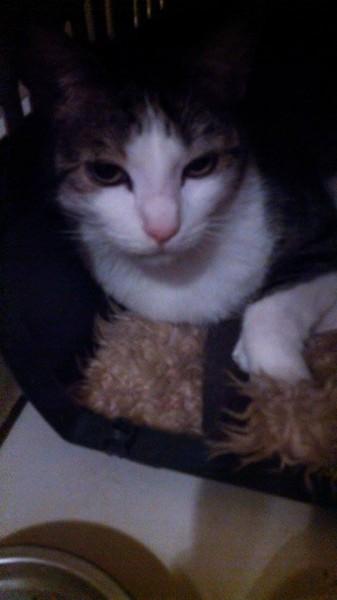 Arthur est un chat présent, qui participera activement à la vie de famille. Dynamique, câlin et sociable. Il nouera des liens forts avec ceux qui l'adopteront.