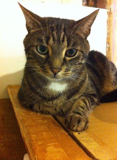 Baloo est un chat câlin, pot de colle et bavard.Il aura besoin d'attention.Chaque soir il accueille sa famille d'accueil en se frottant à ses jambes. Il fera le bonheur de ses adoptants !