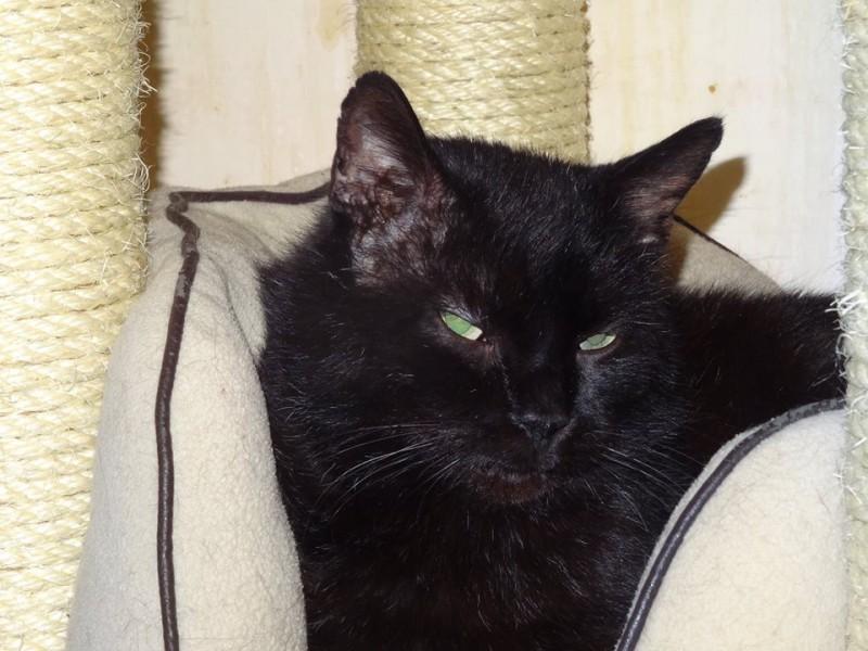Ne vous fiez pas à la photo, Batman est un beau et élégant chat tout noir. Calme, posé et de nature tranquille, il est âgé de moins de 5 ans. Batman a des joues toutes rondes, le poil soyeux et on ne peut que se laisser aller à le caliner face à autant de douceur. D'une grande gentillesse, il n'aspire qu'à une vie au sein d'un foyer aimant et calme. Un amour de chat tout noir ! Qui espère que sa couleur noire ne sera pas un frein à son bonheur ....