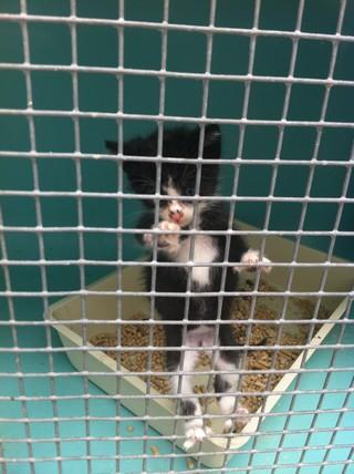 Petit chaton âgé de 6 semaines, qui s'était retrouvé seul dans un box en fourrière.Secouru et suivi pour un prolapsus, Bébé est décédé peu de temps après. Trop jeune et fragile.