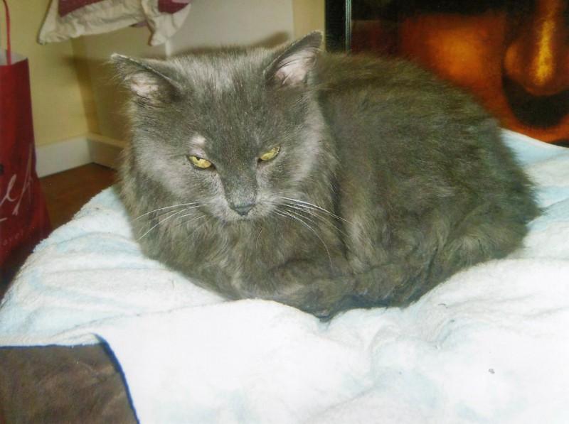 Berlioz est arrivé dans un triste état à l'association: plein de vers, souffrant de diarrhées et le poil en très mauvais état. Une famille d'accueil dévouée l'a pris sous ses ailes et peu à peu, Berlioz a repris du poids. Beaucoup mieux, il est devenu câlin, inséparable avec sa FA. Une belle histoire d'amour est née de ce geste du coeur, accueillir un chat en famille d'accueil.