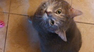 Agé de 5/6 ans, tigré bleu, Bleuet est très gentil, doux, calme et câlin.