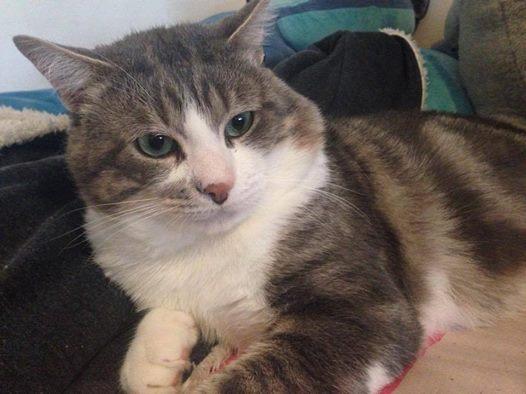 Boone est un jeune adulte très calme et gentil. Il adore les câlins . Un chat sociable , tout en douceur.