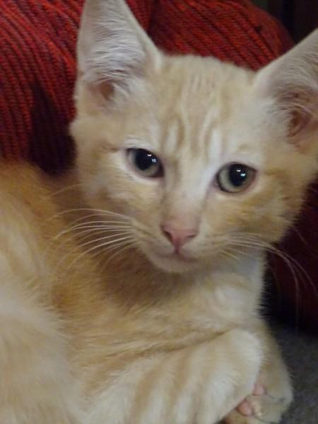 Nous avons plusieurs chatons qui attendent une maison. Dont ces deux jeunes frère et soeur. Rubis et Câlin. Ils attendent avec une réelle impatience leur foyer pour la vie. Gentils et sociables, ils s'entendent très bien, et sont proches, de ce fait nous souhaiterions les faire adopter ensemble. Câlin Et Rubis vous attendent à l'adoption sur Paris ! N'hésitez pas à nous contacter pour plus de renseignements.