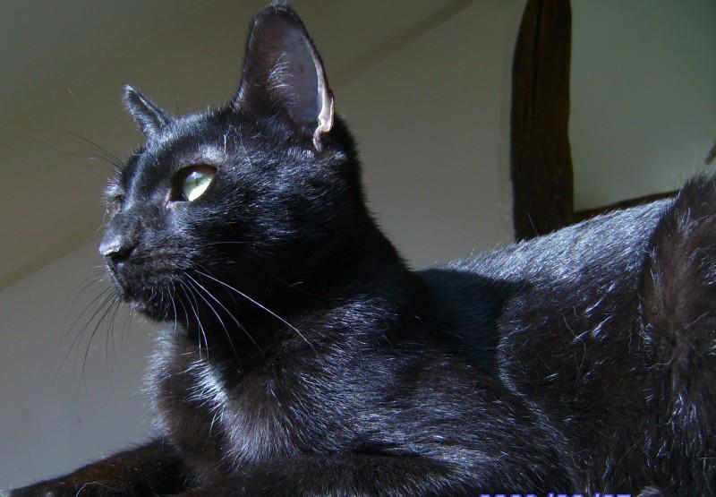 Je me présente, moi c'est Monsieur Charles !Je suis un très beau chat noir , âgé de 2-3 ans et j'aimerai bien que vous veniez me rencontrer .  Je suis adorable, gentil, câlin et j'aime bien m'amuser.  Mais même si l'on s'occupe bien de moi ici, j'aimerai bien à présent avoir mon propre foyer et être aimé par MA famille ... On m'a dit qu'il était difficile pour nous les chats noirs d'être adoptés. Mais moi j'y crois très fort et je ne vous demanderai qu'une seule chose : regardez mes photos, laissez vous toucher par mon regard et venez me voir ! A bientôt .