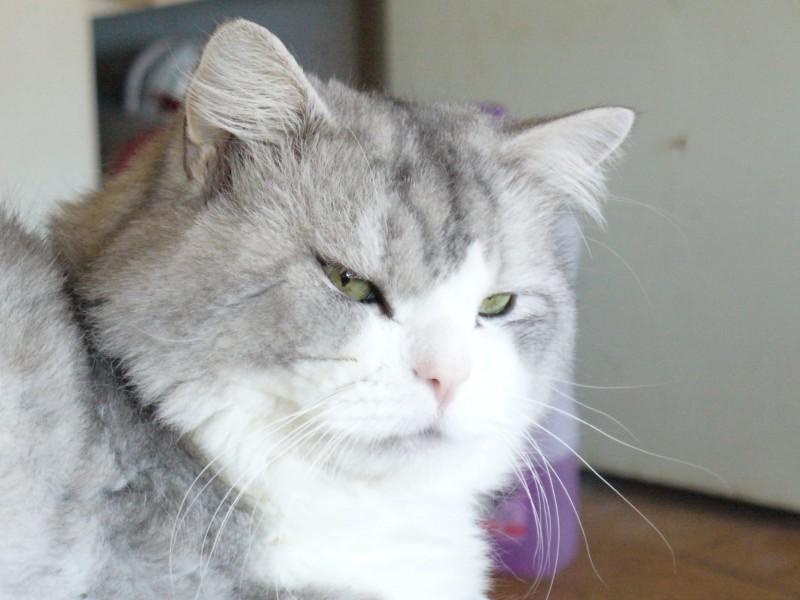 Charlot est un jeune chat mâle qui attend avec impatience sa famille. Très beau, calme, affectueux et propre il saura vous combler de bonheur !