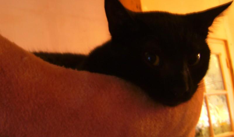 La Puce porte bien son nom, donné avec affection. Jeune minette âgée d'un an, de petit gabarit, elle adore les câlins ! Dynamique, curieuse et intrépide, elle apportera présence et gaité au sein de votre foyer !Elle adore les autres chats également.