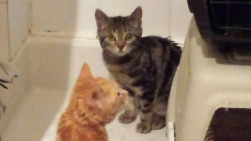Cléo est une chatonne qui aura besoin d'être un peu rassurée au début. Mais dès que vous la prenez dans les bras, elle se laisse complètement aller et ronronne de tout son coeur !