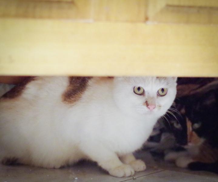 Ce beau chat, encore un peu timide,attend une famille rassurante et aimante.