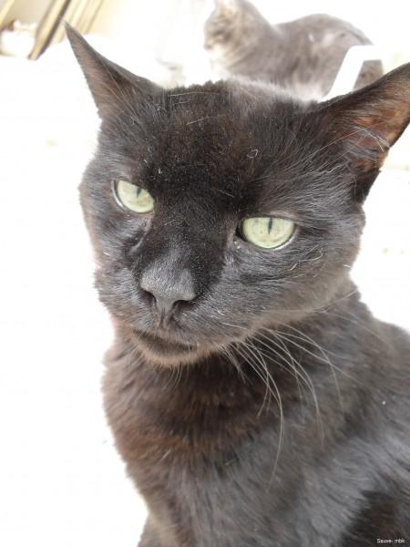Coquin a été abandonné à l'association. Il s'est parfaitement acclimaté à la maison des chats et a toujours refusé d'être adopté.