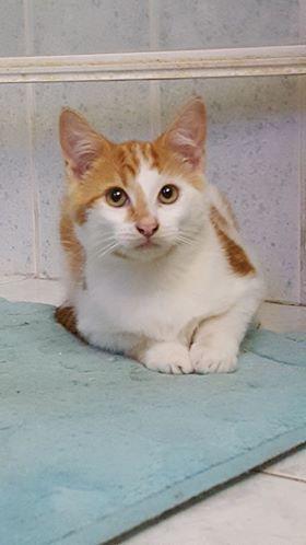 Voici Curly, 4 mois, joueur, attachant, tres sociable avec les autres chats et les humains. il fera le bonheur d'une gentille famille