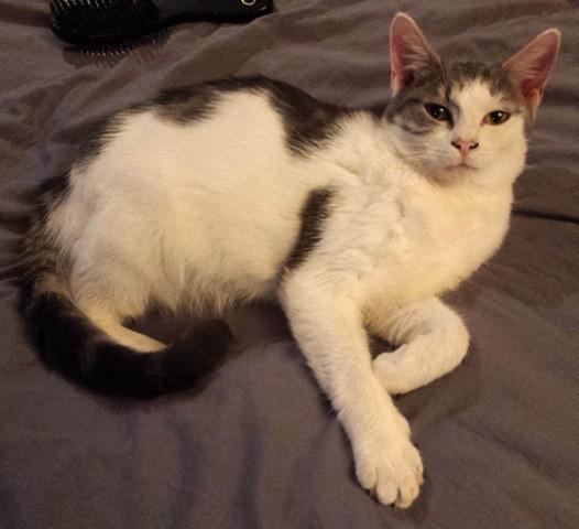 Brownie est un jeune chat espiègle, joueur, curieux et plein de vie! Il a été adopté auprès d'une famille aimante, et s'est trouvé un grand copain félin, noir comme lui. Belle vie à toi gentil Brownie!