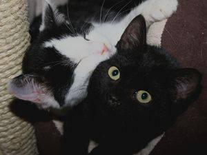Ebene est âgé de 3-4 mois. Il passe son temps enlacé entre les pattes d'Enzo et de Simba ou .... il part à l'aventure avec eux dans de touchantes et dynamiques cavalcades ! Des chatons en somme. Dans l'idéal nous souhaiterions qu'il soit adopté avec un autre chaton (Ezio ou Simba) afin de ne pas les séparer et briser ce lien si fort.