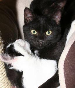 Enzo est âgé de 3-4 mois. Il est très proche d'Ebene et D'Enzo. Ils dorment, mangent, jouent et découvrent le monde ensemble. Gentil et câlin, nous souhaiterions dans l'idéal qu'il soit adopté avec un autre chaton afin de ne pas les séparer.