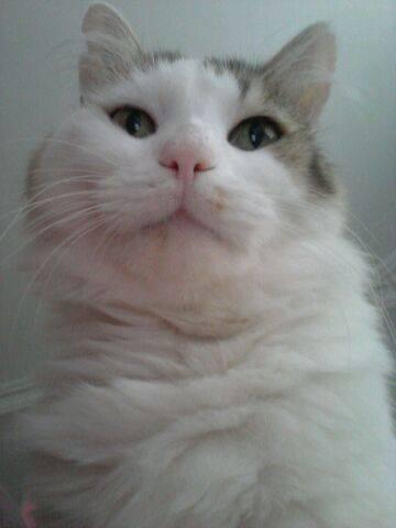 Flocon a été trouvé dehors, perdu et affolé, miaulant de détresse. Il errait dehors depuis un moment. Après avoir posé ses pattounes quelques semaines chez nous, il était prêt à être adopté! Depuis Flocon est très heureux. Curieux, il aime regarder la tv et s'admirer dans l'appareil photo de son adoptante.Il dort dans ses bras, et devient tout fou quand il joue au laser! Un heureux chat bien dans ses pattounes.