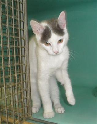 Atchoum avait 6 mois. Sa santé s'est dégradé quand il était en fourrière et il est décédé quelques temps après sa prise en charge d'un calicivirus foudroyant. Il se blotissait dans les bras , nous gardons un souvenir ému de ce si jeune chaton .