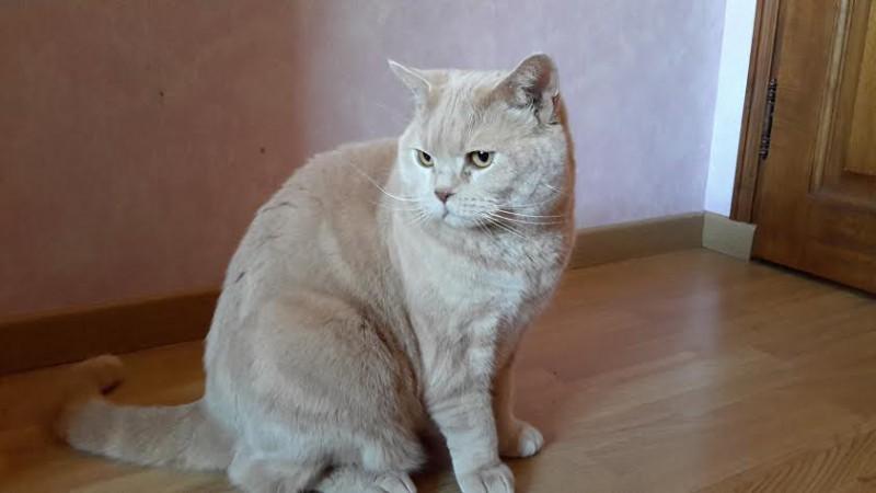 Figaro est âgé de 5 ans. A l'aise, sociable et facile à vivre, ce beau Figaro est un chat adulte âgé de 5 ans. Ce beau british shorthair doré attend une famille aimante, pour la vie, avec impatience !