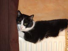 Filou,9ans, beau chat noir et blanc au caractère calme, très sociable et câlin attend une famille qui saura lui donner tout l'amour et l'attention dont il a besoin.S'entend très bien avec ses congénères, un jardin ou une cour privée serait un plus.