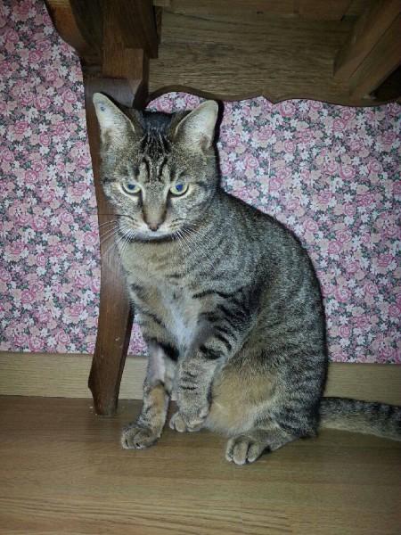 Gaspard est un  beau chat tigré d'environ deux ans. Sociable, très câlin, joueur et calme.Il apportera une présence certaine au sein de votre foyer !