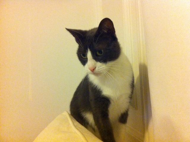 Chat très gentil, joueur, curieux et à l'esprit vif. Caractère calme et sociable, très câlin. Gasper est un chat élégant habitué à une vie de famille et en appartement.