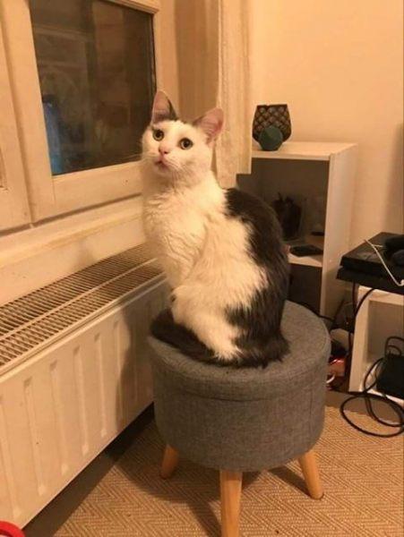 Ghost est un chat excessivement câlin, qui fait des roulades pour en réclamer! C'est un chat d'intérieur, calme et gentil. Qui n'a pas forcément besoin d'un grand espace. Par contre, pour s'épanouir pleinement, Ghost a besoin d'un copain ou d'une copine chat !