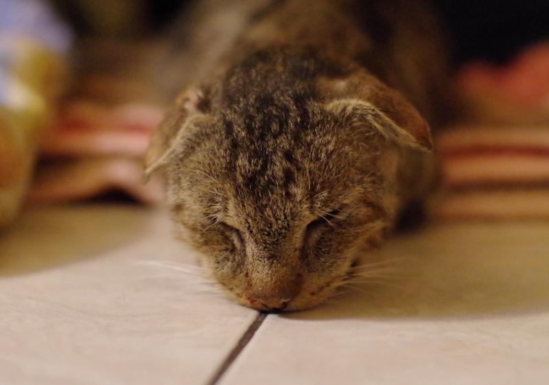 Grand-Père est arrivé chez nous suite à des actes de maltraitances. Atteint d'un cancer généralisé il a pu finir ses jours entouré et câliné. Ces mignonnes petites oreilles faisaient le charme de ce vieux chat.