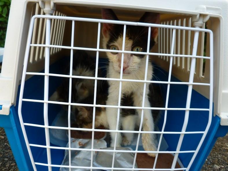 Helios, 3 mois, faisait partie du grand sauvetage de l'été 2012. Maigre, coryza, affaibli, nous n'avons pas pu le sauver.