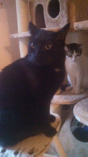 Monsieur Henry est un chat noir avec un discret médaillon blanc. Jeune adulte.D'une grande douceur, calme et discret, il adore les câlins. Présent, sociable et à l'aise, il sera heureux en appartement, en famille et sans besoin d'un accès à l'extérieur. Un amour de chat !