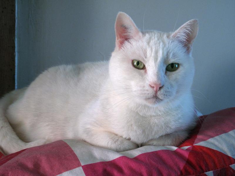 Kikou est une jolie chatte blanche arrivée à l'association il y a 8 ans. Après une vie plus ou moins mouvementée, elle a vécu chez une protectrice indépendante. Nous l'avons récupéré après son décès.