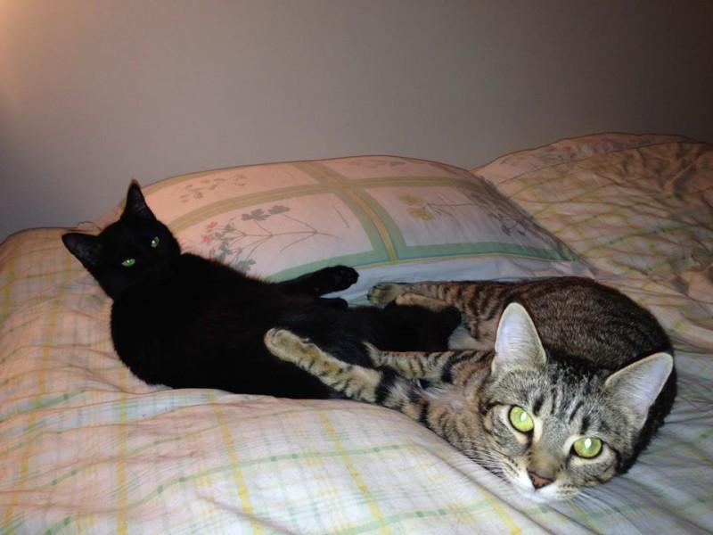 Kirra et Lulla sont âgées de 6 mois. Elles s'entendent très bien toutes les deux. Kirra, la tigrée est sociable, va vers les personnes, apprécie les câlins et aime beaucoup jouer.Lulla, la noire,est un peu observatrice et réservée au départ quand elle ne connait pas les personnes, mais une fois mise à l'aise, elle est tout aussi câline.