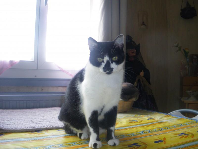 Kitty est une belle et douce minette noire et blanche. Toute mignonne, calme et sage, elle aura besoin d'un environnement calme et d'une famille aimante et patiente. Habituée à une vie en appartement, elle s'entend très bien avec les autres chats. Elle attend sa famille avec hâte et vient réclamer les câlins.