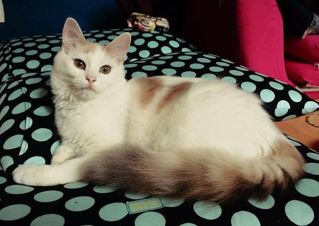 Nous avons vu grandir la petite Lisbeth, et nous avons suivi ses premiers pas de grand chaton dans son nouveau foyer. Choyée et heureuse, elle devient jour après jour une magnifique demoiselle féline.
