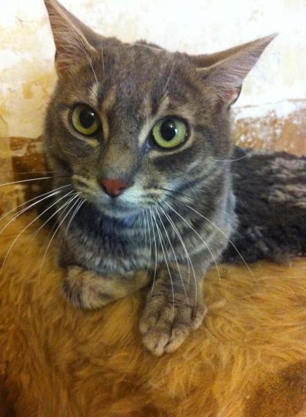 Loisirs est un jeune chat tigré gris. Il aura besoin d'un environnement calme, de douceur et d'unpeu de patience. Il est sociable et câlin mais aura besoin d'être un peu rassuré au début.