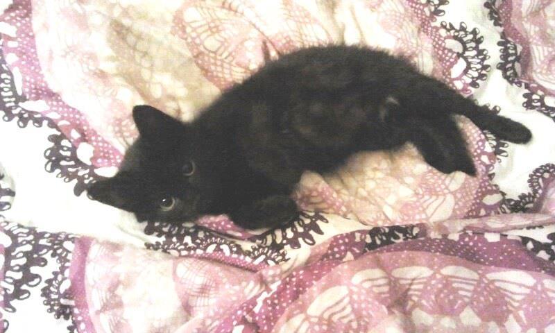 Lola, petite perle noire, arrivée chez Sauve avec ses frères et soeurs suite au grand sauvetage de l'été 2012. A été adoptée avec son frère Ricky, début septembre.
